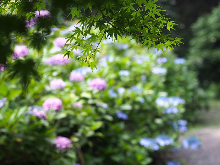 雨と紫陽花ともみじ